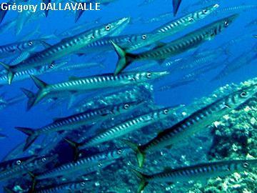 poisson brochet de mer