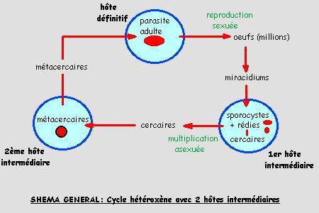 reproducere chez les plathelminthes tratamentul cu bandă largă cu dififobotriază
